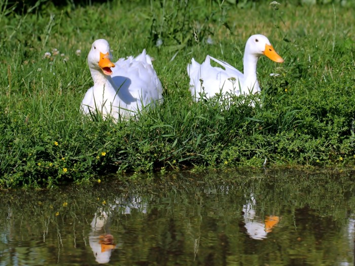 dwie_kaczki