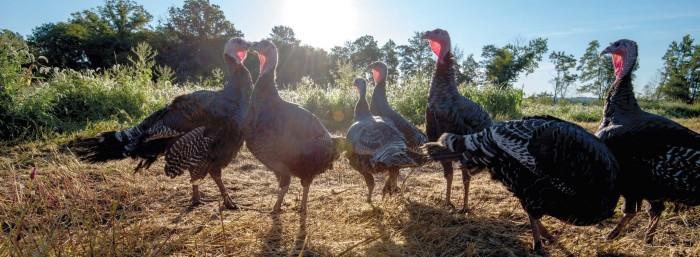 farms-heritage-turkeys_0